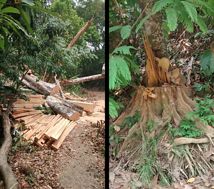 Comunicado: Alarma por la tala indiscriminada de árboles en Marialabaja y el Carmen de Bolívar